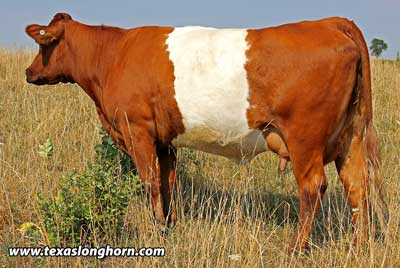 BueLingo Cattle