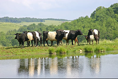 Group of BueLingo Cows by Pond