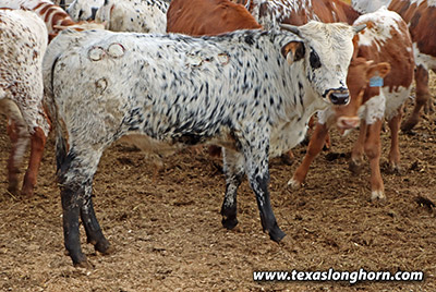 Texas Longhorn Bull_2019 - Shortcake x Top Caliber - 2019 - Photo Number: f_10572.jpg