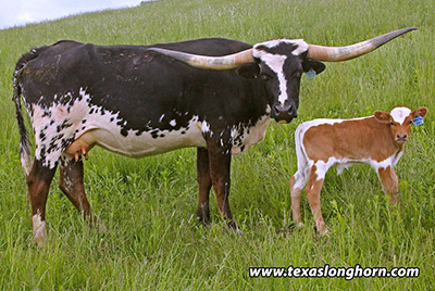 Texas Longhorn Bred_Cow - Tempting Sky - Photo Number: f_2833.jpg