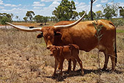 Tempter calf with dam by Drag Iron. All AI in Australia.