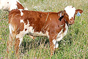 Pig Feathers Calf 2014 - Pig Feathers x Top Hand - 2014 Heifer - a_4044