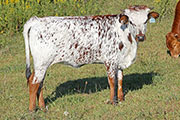 Look Out! Calf 2014 - Look Out! x Drag Iron - 2014 heifer - a_6570