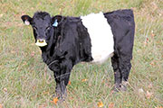 Raffle Chance - Dip Tally x Graphic Progress - 2014 Heifer - a_8687