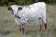 Rodeo Match - Matchless x Rodeo Max - 2015 Heifer - b_6017