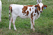 Kip Flip - Over Ju x Kip Up - 2015 heifer - b_6172