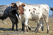 Let's Rip - Jam Packed x Cowboy Tuff Chex - 2018 Embryo Bull - f_0058