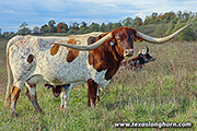 Texas Longhorn Dam - Jam Packed - Photo Number: f_10910.jpg