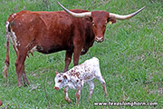 Texas Longhorn Dam - Jest Max - Photo Number: f_1687.jpg