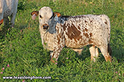 Flair In The Sky Calf 2019 - Flair In The Sky x Hooray - 2019 Bull - f_7427