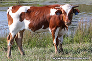 f_7944.jpg - Silent Iron x Time Line - 2019 Embryo Heifer