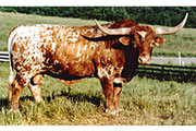Texas Longhorn Sire - Gizmo - Photo Number: gizmo.jpg