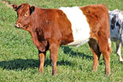 Dip Keeper - Fin Up x Dip Stick - 2011 heifer - x_7254